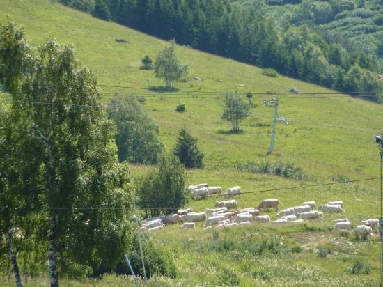 les vaches dans la montagne